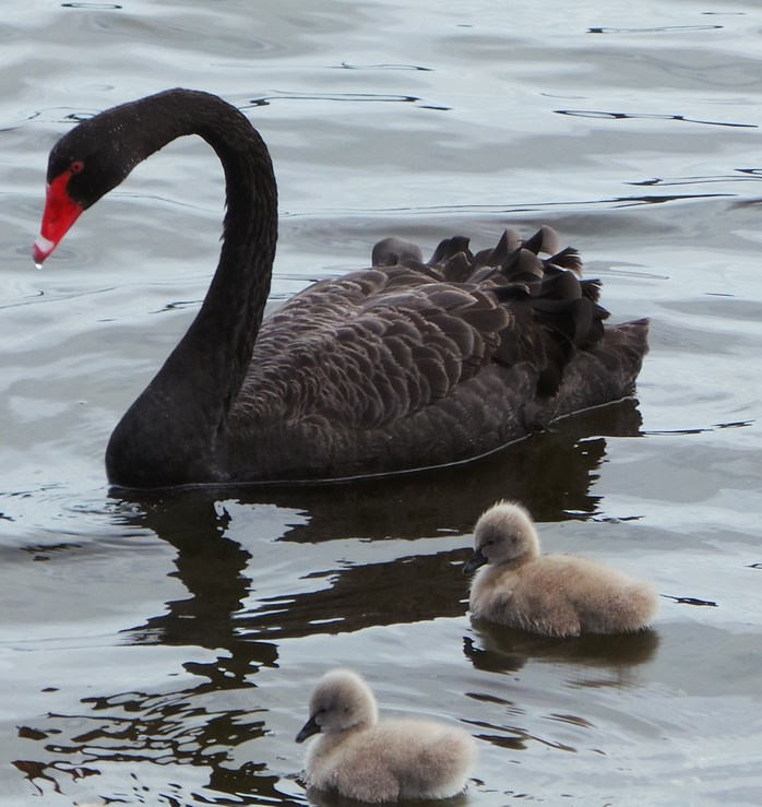 Perth: home to the black swan